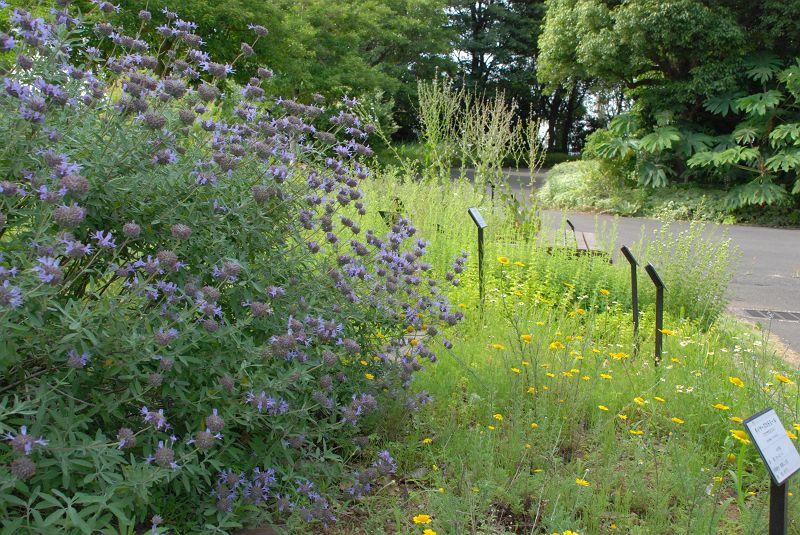 夢の島熱帯植物館 庭に栽培されているハーブ クレベラントセージ (シソ科) 写真No.yumeshima_1093